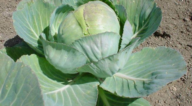 Brassica oleracea ricca di vitamina C